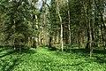 Allium ursinum Bärlauch.JPG