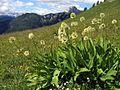 Allium victorialis PID975-1.jpg