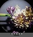 Allium vineale sl9.jpg