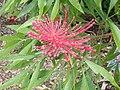 Alloxylon pinnatum PB031189 01.jpg