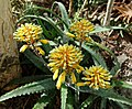Aloe camperi (Aloe eru) - Orto botanico - Rome, Italy - DSC00016.jpg