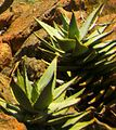 Aloe mitriformes aka Aloe perfoliata SA.JPG