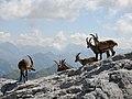 Alpensteinböcke, Capra ibex auf der Sulzfluh 3.JPG