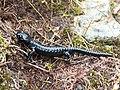 Alpine-salamander-2258279.jpg