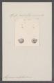 Alycaeus sculptilis - - Print - Iconographia Zoologica - Special Collections University of Amsterdam - UBAINV0274 091 06 0007.tif