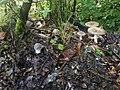 Amanita pantherina ts1.jpg