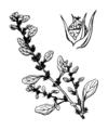 Amaranthus albus Coste 3067.png