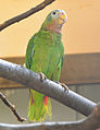 Amazona collaria -Vienna Zoo, Schonbrunn Palace, Vienna, Austria-8a (1).jpg