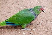 Amazona vinacea -Iguazu Bird Park, Brazil-8a.jpg