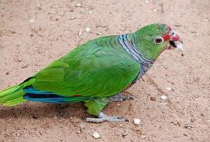 Vinaceous-breasted amazon - At Iguazu Bird Park, Brazil