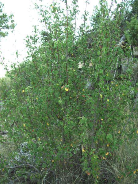 File:Amelanchier ovalis.JPG
