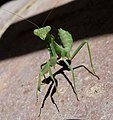 Ameles spalanziana - Flickr - gailhampshire (1).jpg