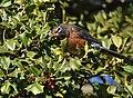 American Robin eating Holly berries (46382724041).jpg