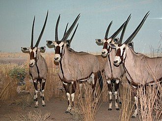 Gemsbok - Taxidermied specimens at the American Museum of Natural History