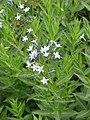 Amsonia orientalis (14501789996).jpg