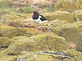 An Oystercatcher, Staple Island. - geograph.org.uk - 1059943.jpg