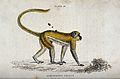 An ape of the genus cercocebus sabaeus walking on all four o Wellcome V0020761.jpg