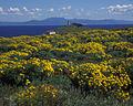 Anacapa-Island-Coreopsis.jpg