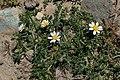 Anacyclus pyrethrum kz06.jpg