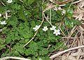 Anemone flaccida s12.jpg