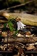 Anemone nemorosa (flower).jpg
