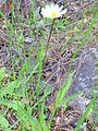 Anemone palmata var. albida Habitus 2013-4-11 SierraMadrona.jpg