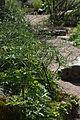 Anemone rivularis 01.jpg