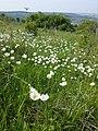 Anemone sylvestris sl35.jpg