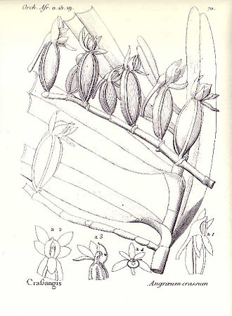 Louis-Marie Aubert du Petit-Thouars - Angraecum crassum, a drawing of this orchid by Thouars in his book Orch. Il. Afr.