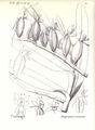 Angraecum crassum.jpg