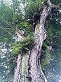 Angsana tree 3.jpg