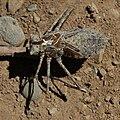 Anisoptera exuvia-1-1.jpg