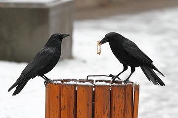 Zwei schwarze Aaskrähen sitzen auf einem Abfalleimer