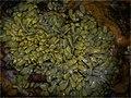 Anoplocephala perfoliata fig1.jpg