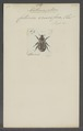 Anthracophora - Print - Iconographia Zoologica - Special Collections University of Amsterdam - UBAINV0274 022 06 0091.tif