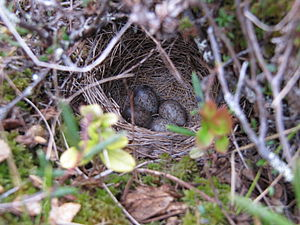 Meadow pipit - Nest with eggs