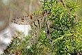Antlion (Palpares libelluloides).jpg
