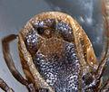 Anus Ixodes ricinus male Forêt domaniale de Flines-lez-Mortagne 2015-07-10d2.jpg
