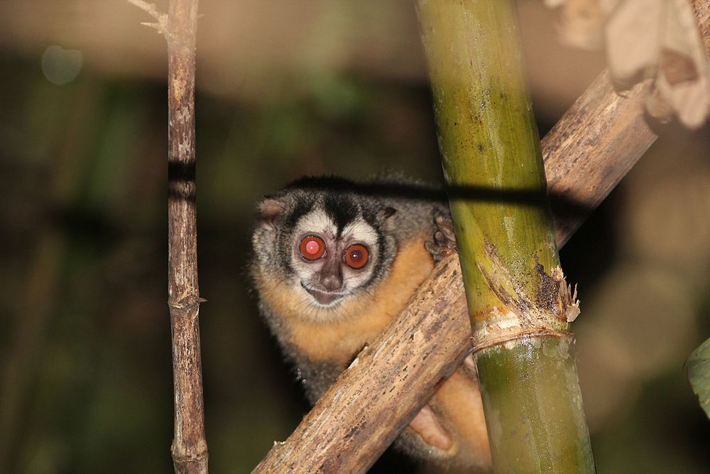 The average litter size of a Azara's night monkey is 1