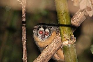 Azaras night monkey Species of New World monkey