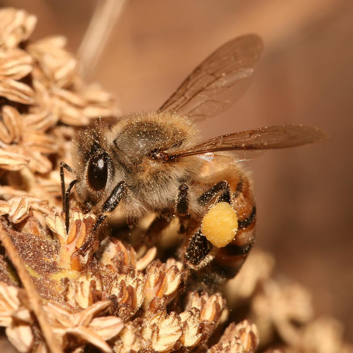 Forage (honey bee) - Wikipedia - photo#9