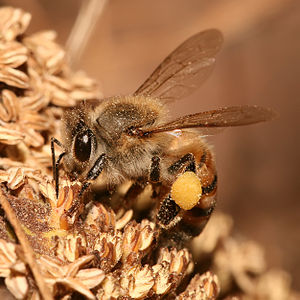 Forage (honey bee) - European honey bee collecting nectar and pollen