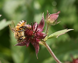 Apis mellifera on Potentilla palustris.JPG