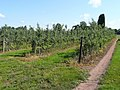 Apple orchards - geograph.org.uk - 841472.jpg