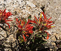 Applegate's Indian paintbrush.jpg
