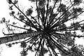 Araucaria (8175182119).jpg