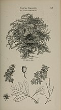 Arboretum et fruticetum britannicum, or - The trees and shrubs of Britain, native and foreign, hardy and half-hardy, pictorially and botanically delineated, and scientifically and popularly described (14597250150).jpg