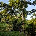 Arbre de Zévi à l'entrée de la forêt de L'Étang-salé les hauts.jpg