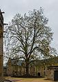 Arbre de la Liberté Bayeux.jpg
