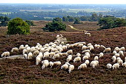 A flock of sheep in Archemerberg, near Lemele
